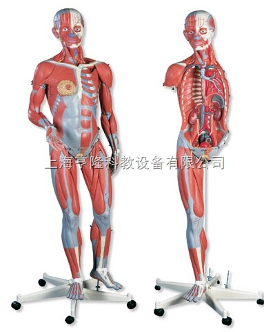 新两性人体肌肉臂模型,45部分