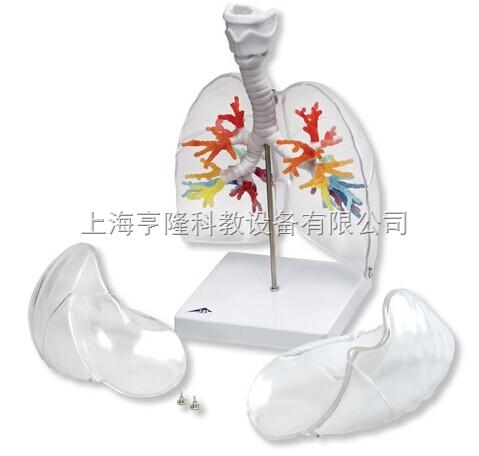 新CT支气管带咽喉和透明肺叶