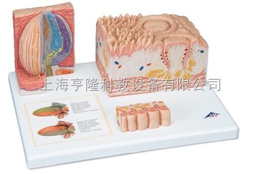 新舌显微解剖模型