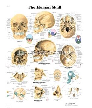 新The Human Skull