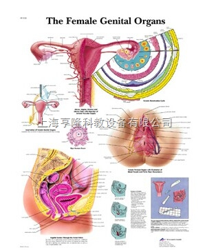 新The Female Genital Organs