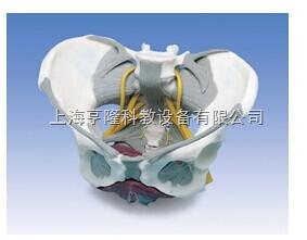 新带韧带、神经和底肌的女性骨盆模型