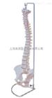 自然大脊椎带盆骨模型(人体骨骼)