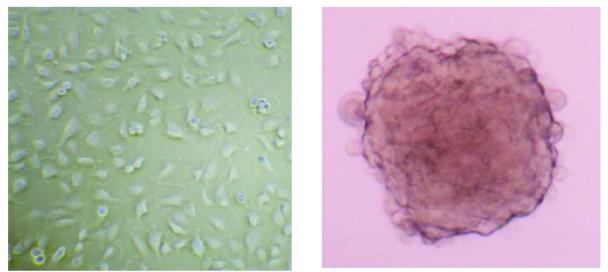 3D细胞培养板(GravityPLUS 3D Cell Culture Kits) 3D(三维)细胞培养使细胞聚集生长,形成组织样结构,更好的模拟体内生理状况。瑞士insphero公司的3D细胞培养技术无需使用支架介质,通过悬滴法给细胞提供一个更加接近体内生存条件的微环境,使细胞形成3D微组织,从而更好地模拟体内细胞生长情况,更直观的反映细胞生物学和功能,更准确的构建靶组织模型。 应用实例 人胶质母细胞瘤细胞SNB-19