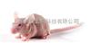 BALB/c-nu裸鼠
