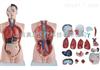 ZK-XC201/85CM男性躯干模型19件(人体骨骼模型)